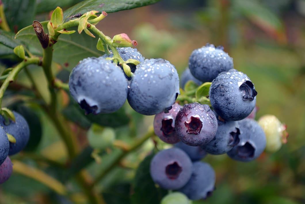 Utöver detta är dessa små blå bär rika på både vitaminer och mineraler