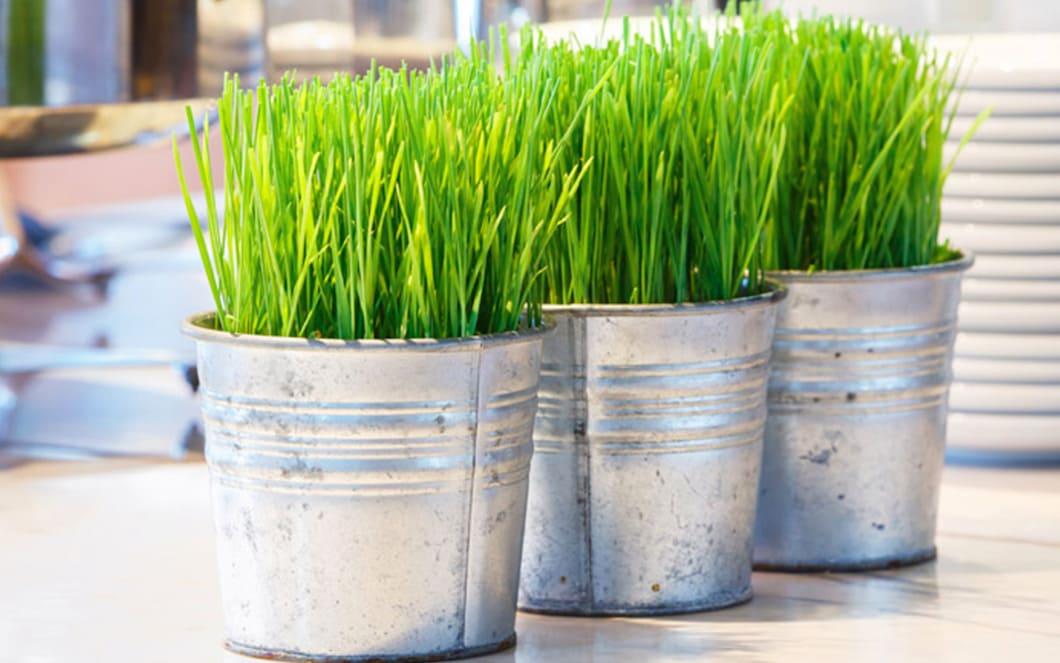 Vad är vetegräs?