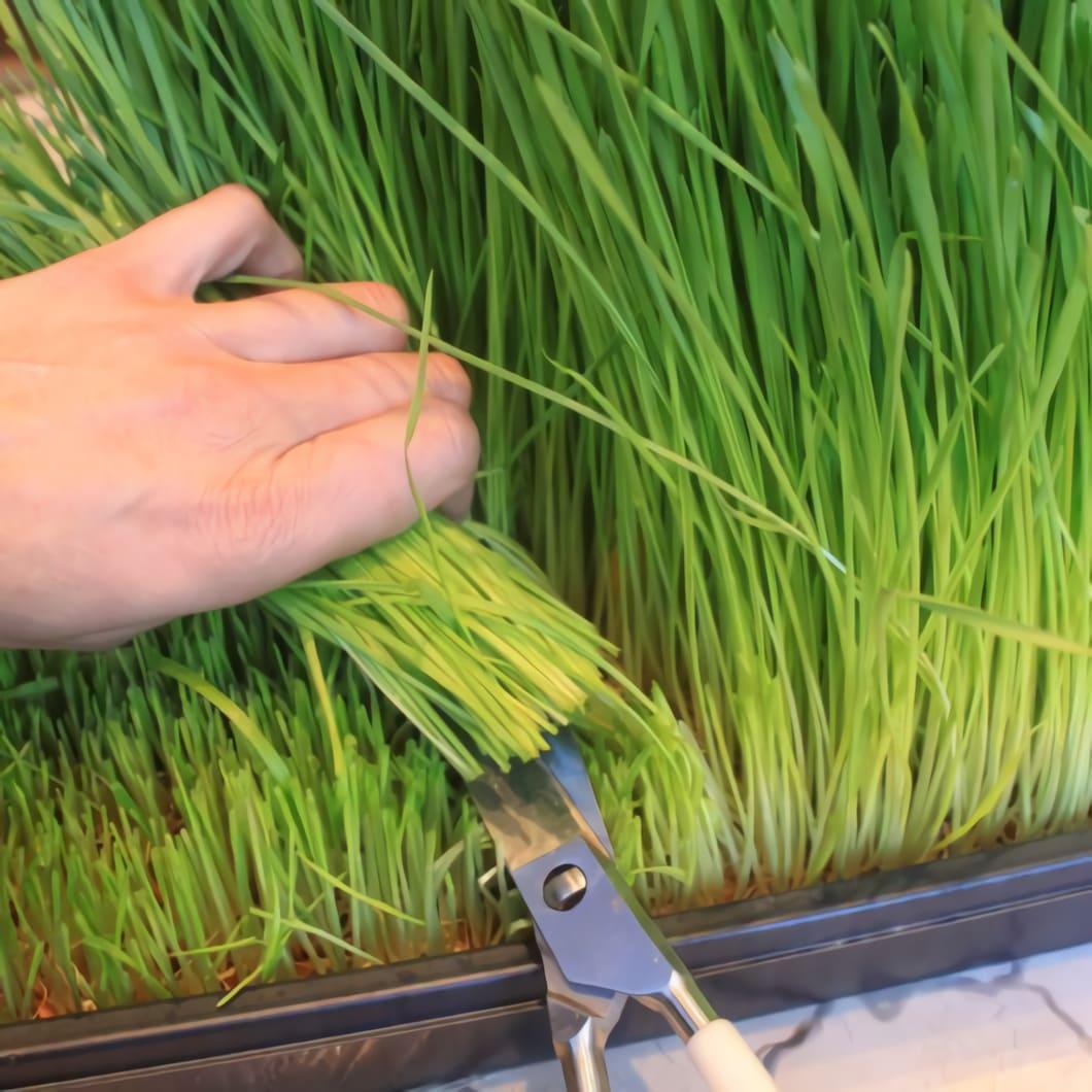Man kan faktiskt odla eget vetegräs hemma på fönsterkarmen